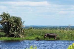 Hippo on a pond photo