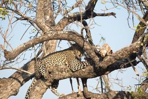 leopardo alimentándose de impala foto