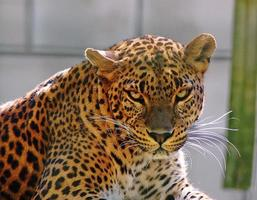 Portrait of the adult male leopard photo