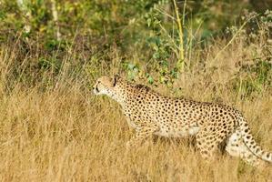 Creeping leopard photo