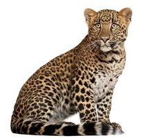 Leopard, Panthera pardus, six months old, sitting, white background.