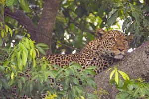 luipaard (panthera pardus) in vijgenboom, masai mara, kenia