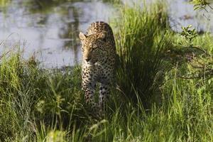 leopardo (panthera pardus) caminando en la hierba foto