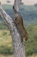 leopardo, panthera pardus foto