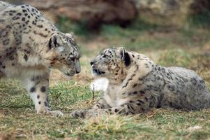 par de leopardo da neve