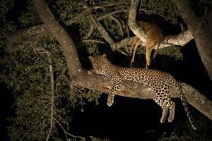 leopardo africano (panthera pardus) sudáfrica foto