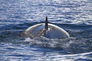 Minke whale back surfaced ocean in the Antarctic Peninsula 1