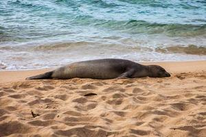 foca monje hawaiana foto