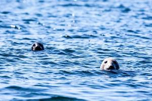 Two seal heads in the water photo