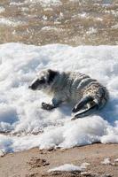 Baby seal sunbathing photo