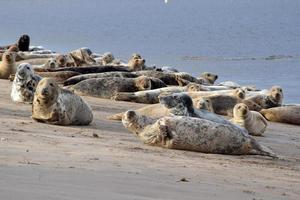 grijze zeehondengroep