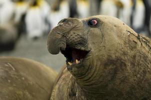 elefante marino macho foto
