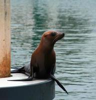 Seal in Alamitos Bay in Long Beach California USA photo