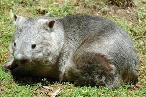 wombat de nariz peluda del sur foto