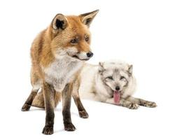 Red and artic fox next to each other