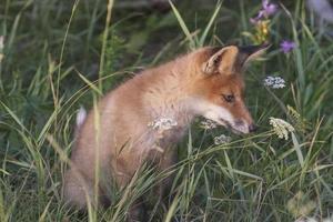 Fox-cub in meadow