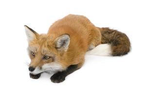 Red fox (4 years)