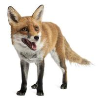 Red Fox, four years old, standing, white background.