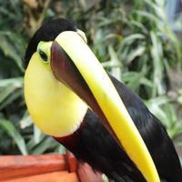 tucán, pájaro en costa rica, ramphastos swainsonii foto