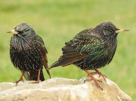 Pair of Starlings