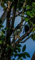 Metalic Starling photo