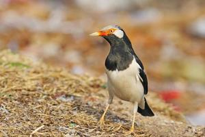 Asian Pied Starling photo