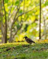 myna sull'erba