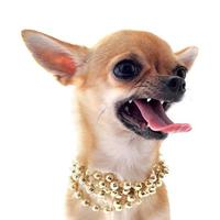 Angry chihuahua dog wearing gold beaded necklace