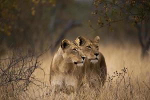 leeuwinnen op de uitkijk
