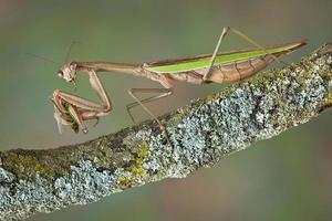 Mantis eating hopper
