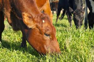 vaca pastando foto