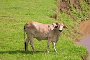 Cow photo