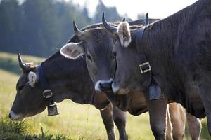koe in de Alpen
