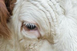 olho de vaca