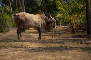 bull, cow,