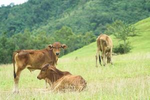 pastura para vacas foto
