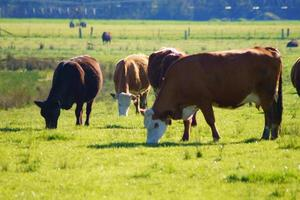 Cows grazing. photo