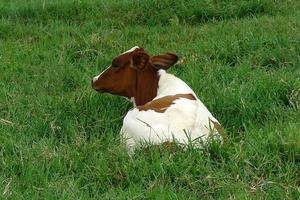 vaca acostada foto
