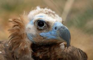 Vulture with blue face photo
