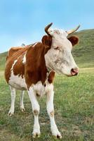 Simple cow photo