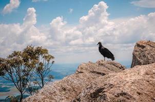 vautour au sommet du lopo