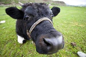 vaca curiosa foto