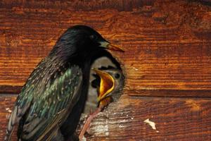 Starling Feeding Babies