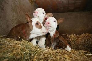tres terneros en byre rural foto