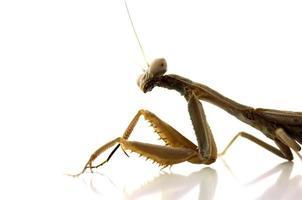 mantis religiosa en blanco