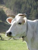 vaca04 foto