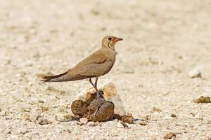 Collared Pratincole On The Turd photo