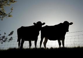 Pair of Friesian cattle