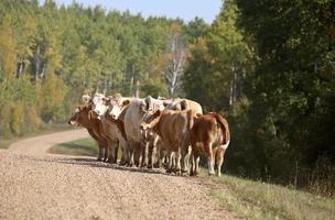 vee langs een landweg in Saskatchewan