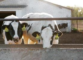 group of cows photo